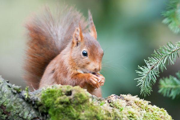 eekhoorn-eurasian-red-squirrel-sciurus-vulgaris-20141220-1624194976D35B34E0-55A3-D88A-008C-256A051306FC.jpg