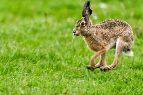 haas-hare-lepus-europaeus-1-20141220-11458723081CF7524F-BBE8-2FD5-0675-CA7327043DC6.jpg