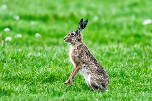 haas-hare-lepus-europaeus-2-20141220-1466875483DD01D89A-7CEB-0F4F-A5B2-8399090A4A09.jpg