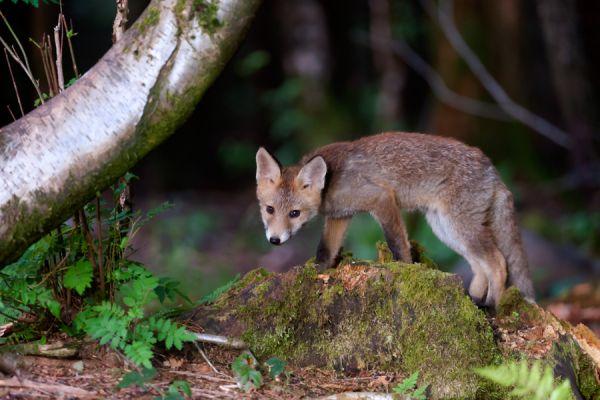 jonge-vos-young-red-fox-vulpes-vulpes-20150625-120721802897A731D4-B28D-C793-D917-11E7DFD26BFF.jpg