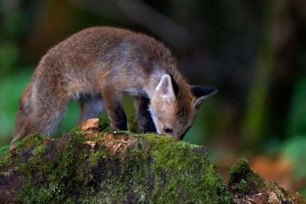 jonge-vos-young-red-fox-vulpes-vulpes-20150625-1568845733A8ACC3C1-5BAF-1719-1BF9-261C1E390CCB.jpg
