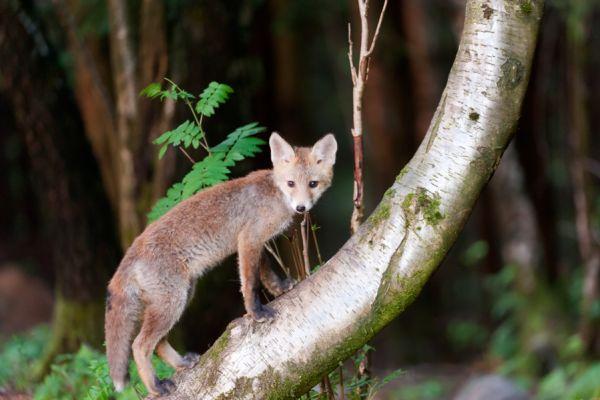 jonge-vos-young-red-fox-vulpes-vulpes-20150625-1782169863B5DCCA84-186A-74CF-1CFA-C148D165E76F.jpg