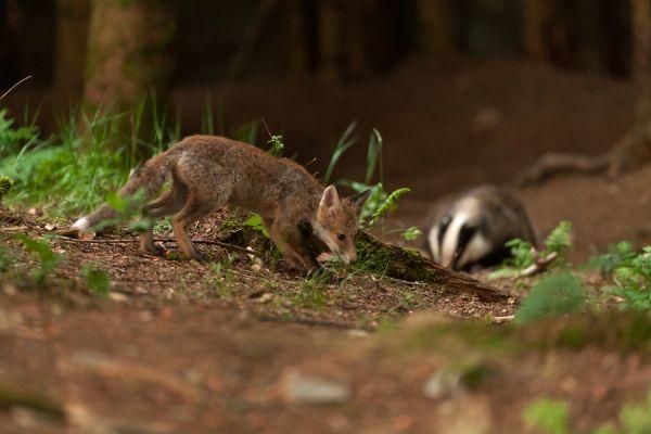 jonge-vos-young-red-fox-vulpes-vulpes-and-das-european-badger-meles-meles-20150625-1758121601F1AC175B-5C8E-10D2-DF50-B902EA7A318C.jpg