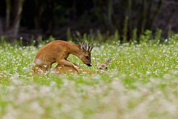 ree-roe-deer-capreolus-capreolus1-20141220-143184533802DA4BF1-0231-AA1D-7018-7E6B6DED25DF.jpg