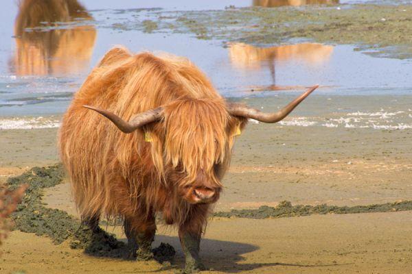 schotse-hooglander-highland-cattle-20141220-156103843910B1FF8A-7877-C00B-C39A-EC1BA4992F88.jpg
