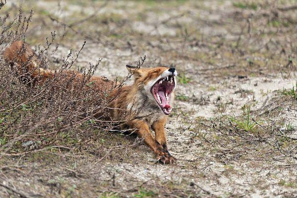vos-red-fox-vulpes-vulpes-20141220-1687080078841B6D63-7555-C623-7177-86CECFD7F25A.jpg