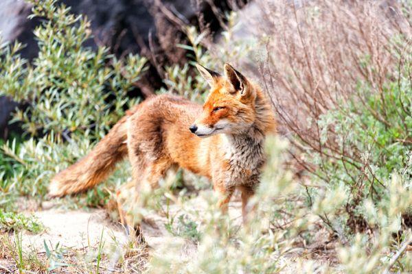 vos-red-fox-vulpes-vulpes1-20141220-13363750490EFEC7D7-85DF-DD52-28F9-7D8A0C0AE6D7.jpg