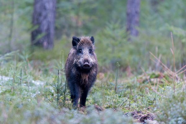 wild-zwijn-wild-boar-sus-scrofa-4-20141220-16824032780C63D89C-B913-23EF-33D3-CE9314EBB619.jpg