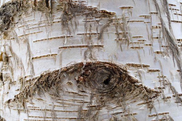 berken-oog-birch-eye-birken-auge-betula-20160501-1153699517B6385EFE-6E4C-DF69-67FB-45847F663C93.jpg