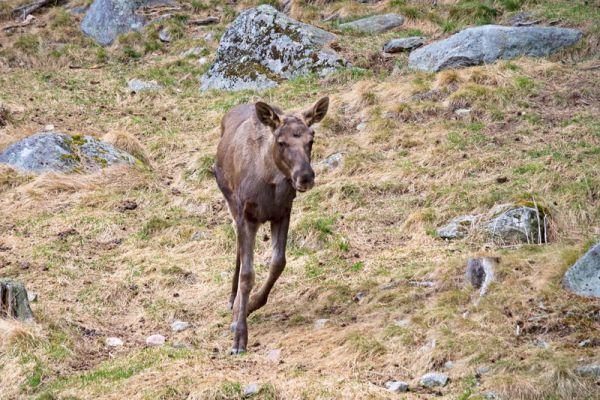 eland-moose-elch-alces-alces-20160501-18926700913C081959-86E3-F443-C3C7-99C99C204BC9.jpg