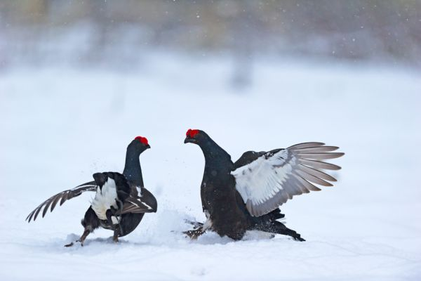 korhoen-sneeuw-black-grouse-birkhuhn-tetrao-tetrix-20160501-2035214250AEA2EE4F-9EC5-BB64-9ACA-D9F8ADD41B31.jpg