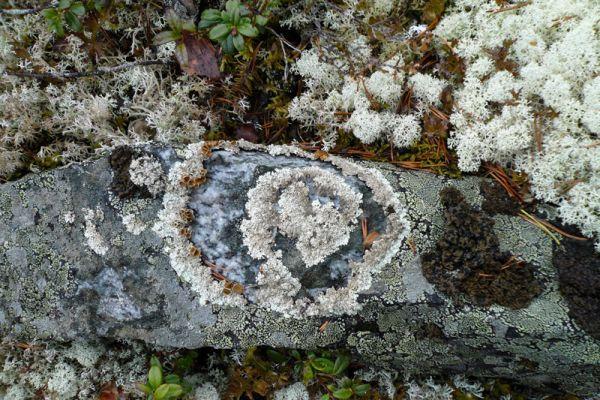 korstmos-lichen-flechte-lichenen1-20160501-16988290198001F43E-EF69-31B5-CD80-8E66AF776693.jpg