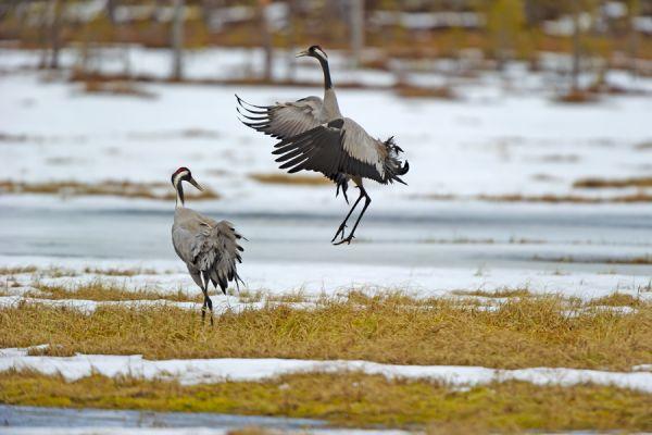 kraanvogel-balts-common-crane-kranich-grus-grus-20160501-202480444527E12833-3E66-1D4F-93AA-820C91DEE17C.jpg
