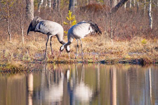 kraanvogel-common-crane-kranich-grus-grus-20160501-14144367160D2DC356-69A3-F88F-10FF-EE344AF50560.jpg