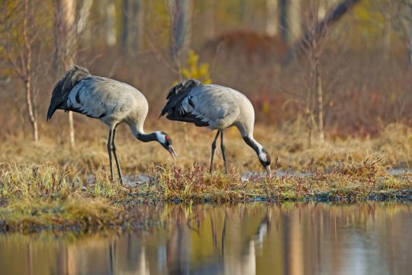 kraanvogel-etend-common-crane-kranich-grus-grus-20160501-1395077838E039EE97-8DDF-53DC-8337-2A3339EB9B7F.jpg