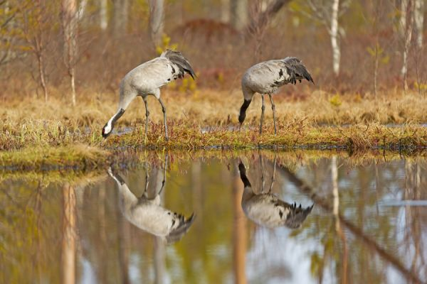 kraanvogel-reflectie-common-crane-kranich-grus-grus-20160501-13969138100B9A01EC-B001-67C4-F2F2-0066EA07C340.jpg