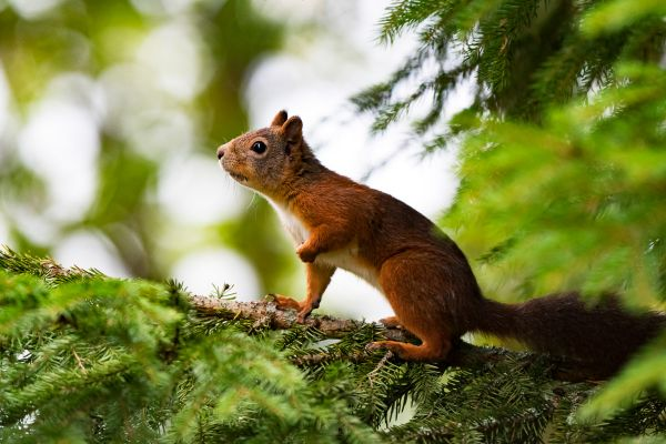 eekhoorn-red-squirrel-eichhoernchen-sciurus-vulgaris-20171015-1079766056DAA1BFDC-FD14-1516-75F7-03C759052A0C.jpg