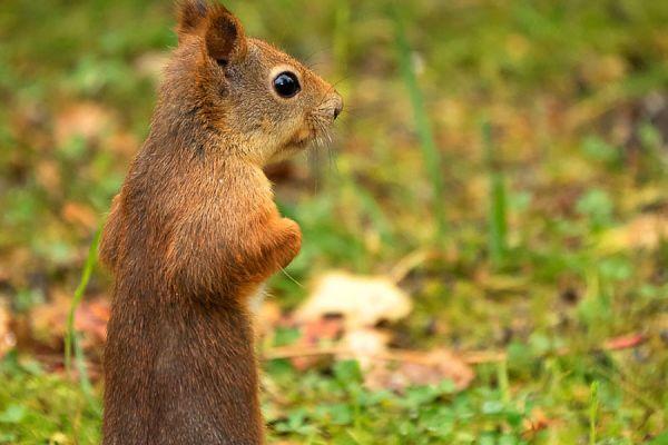 eekhoorn-red-squirrel-eichhoernchen-sciurus-vulgaris-allert-mira-20171015-18529054436E568114-D921-FDAC-CBE4-C03C6EE67710.jpg