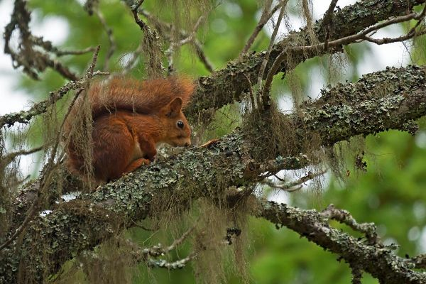 eekhoorn-red-squirrel-eichhoernchen-sciurus-vulgaris-mira-20171015-1149699779E8763A53-CB2A-9820-D4A0-8F9519126D8B.jpg