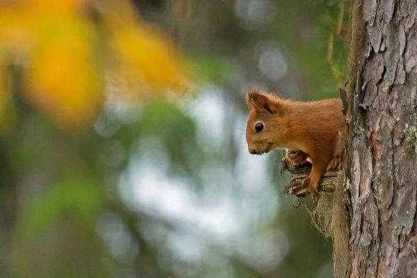 eekhoorn-red-squirrel-eichhoernchen-sciurus-vulgaris-mira-20171015-156157348613BBAEE4-75F1-808B-0CC3-592A76910413.jpg