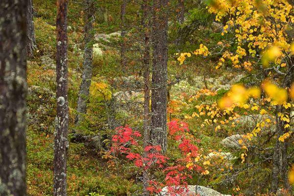 park-hamra-in-herfst-kleuren-hamra-national-park-in-autumn-colors-hamra-national-park-im-herbst-20171015-1475709272F142B37A-FFA4-5DB6-7048-6675D2473396.jpg