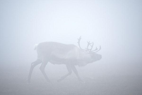 rendier-in-mist-reindeer-in-fog-rentier-im-nebel-rangifer-tarandus-mira-20171015-15969946105F948548-C71F-83FC-B97D-E69F7FD4E3B1.jpg