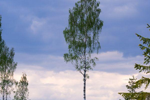 berk-in-landschap-birch-in-landscape-birke-in-landschaft-20180625-19572039041CE6291F-9F1F-AE0F-25E3-9643EE6FBC7D.jpg