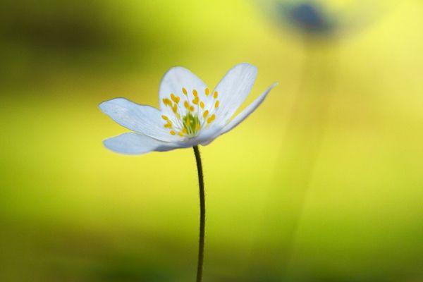 bosannemoon-wood-anemone-buschwindroeschen-anemone-nemorosa-1-20180625-19043099316661A81E-1B61-BF90-D651-7CB48F5EBE5A.jpg