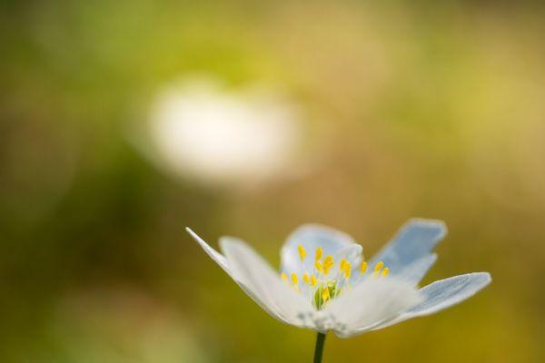 bosannemoon-wood-anemone-buschwindroeschen-anemone-nemorosa-20180625-1200456235AA904383-5026-9B84-68D1-2720F1D59E37.jpg