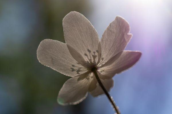 bosannemoon-wood-anemone-buschwindroeschen-anemone-nemorosa3-20180625-18081120952A9B9D8E-FAA2-44F6-095B-069D7292639B.jpg