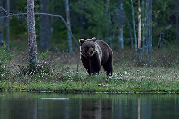 bruine-beer-brown-bear-braunbaer-ursus-arctos-3-20180625-1209591790B60EE943-AC7D-6691-477C-5CC7C43FD64F.jpg