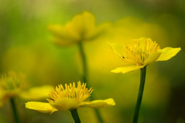 dotter-marsh-marigold-sumpfdotterblume-caltha-palustris-1-20180625-1677477928FBEFE319-E9E3-A8C3-3FB9-3D51A0B79F8A.jpg
