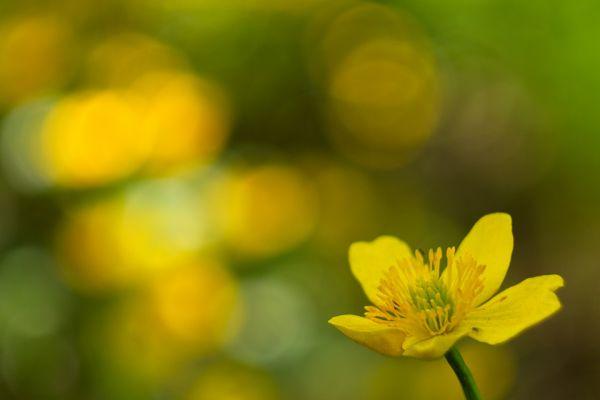 dotter-marsh-marigold-sumpfdotterblume-caltha-palustris-2-20180625-19851725298EDE560D-BDD3-8001-8C05-0286597B8D63.jpg