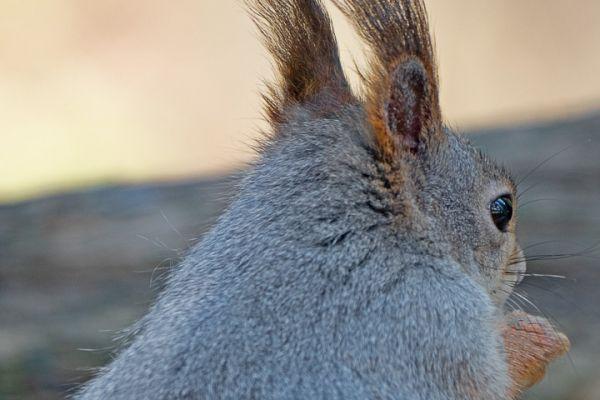 eekhoorn-red-squirrel-eichhoernchen-sciurus-vulgaris-1-20180625-1231265179DE3F97F2-197B-FF53-361A-ED28B744915F.jpg