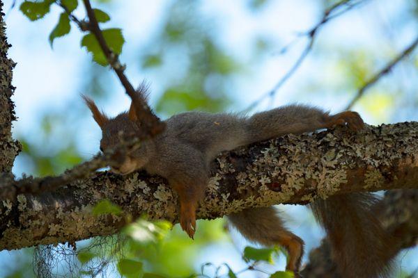 eekhoorn-red-squirrel-eichhoernchen-sciurus-vulgaris-2-20180625-101748873243C4D60D-B905-CE5B-459B-78DB0D99E0ED.jpg