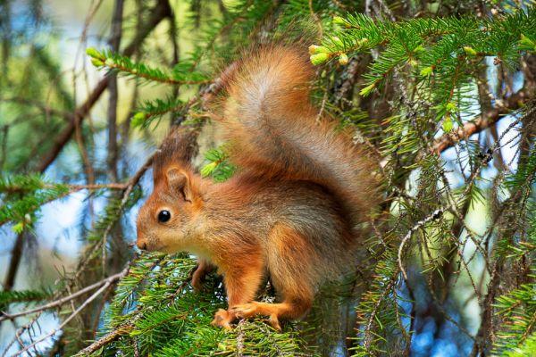 eekhoorn-red-squirrel-eichhoernchen-sciurus-vulgaris-20180625-149525532301C83F8B-3AD1-50C6-2AE8-1EDDB6C0E1C1.jpg