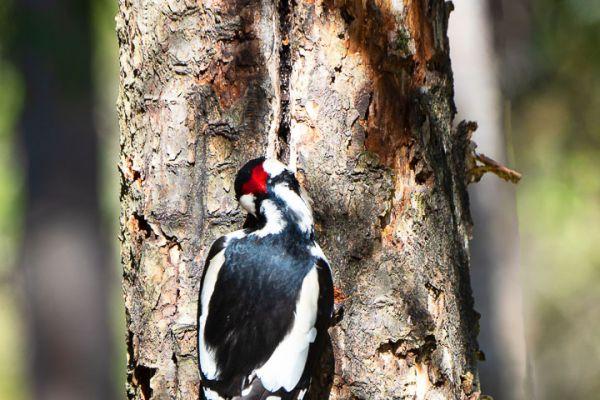 grote-bonte-specht-great-spotted-woodpecker-buntspecht-dendrocopos-major-1-20180625-1690122834B2E5282B-16B2-F07D-DBD6-D9247799DFBD.jpg