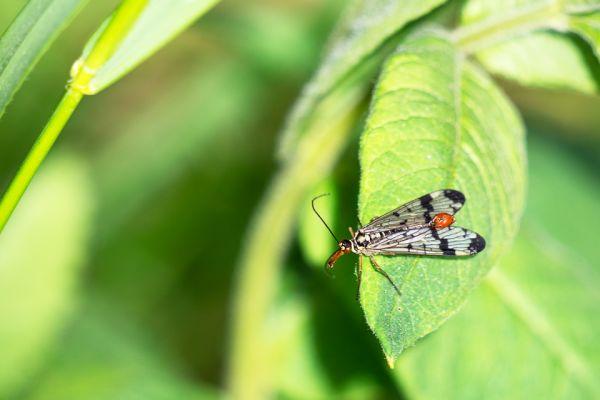 schorpioenvlieg-scorpionsflie-skorpionsfliegen-panorpidae-20180625-17252588666656A6D4-ADCA-88BA-3F6B-0E783A617898.jpg