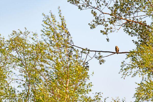 velduil-short-eared-owl-sumpfohreule-asio-flammeus-1-20180625-1096725520A05BEDB5-1B8A-6540-2809-A45ACDC76F2B.jpg