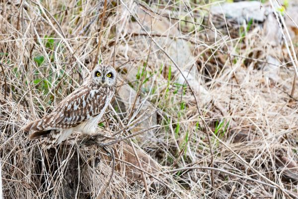 velduil-short-eared-owl-sumpfohreule-asio-flammeus-2-20180625-15268711452AEC44E5-8BFF-D156-2DCA-3B8CE89B4131.jpg