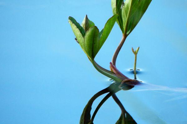 waterdrieblad-menyanthes-bitterklee-menyanthes-trifoliata-2-20180625-13139072488585F58D-1921-0316-154E-1DB2C32F2773.jpg