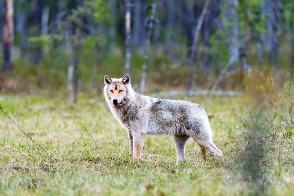 wolf-wolf-gray-wolf-canis-turdus-1-20180625-149602874269371B9C-DE48-78D6-DA76-39024FCB500D.jpg