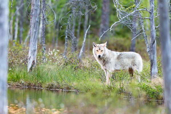 wolf-wolf-gray-wolf-canis-turdus-3-20180625-1692807393DAF90782-88F0-4121-2E2A-D84E0A305A95.jpg