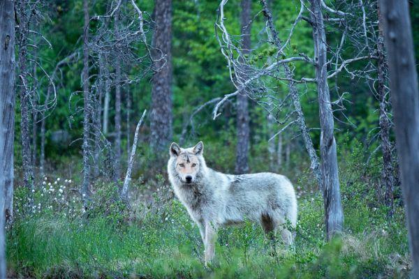 wolf-wolf-gray-wolf-canis-turdus-4-20180625-12342206351B4492F7-FF48-CDCB-28D6-55DA60EDB2C9.jpg