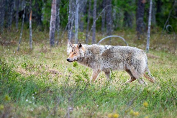 wolf-wolf-gray-wolf-canis-turdus-5-20180625-1513971465EFFA2775-187F-C813-2081-03A66387CB69.jpg