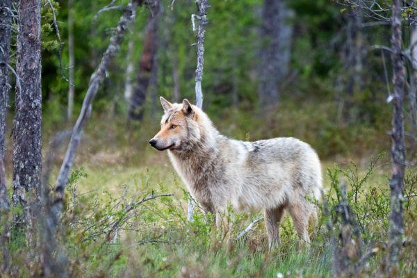 wolf-wolf-gray-wolf-canis-turdus-6-20180625-1495756466C2D4E748-772D-5C12-6C08-536E465A7CCB.jpg
