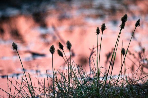 wollegras-cottongrass-wollgraeser-eriophorum-2-20180625-1665920650C95B64DC-285D-6C20-AA71-ED6942FC9E3E.jpg