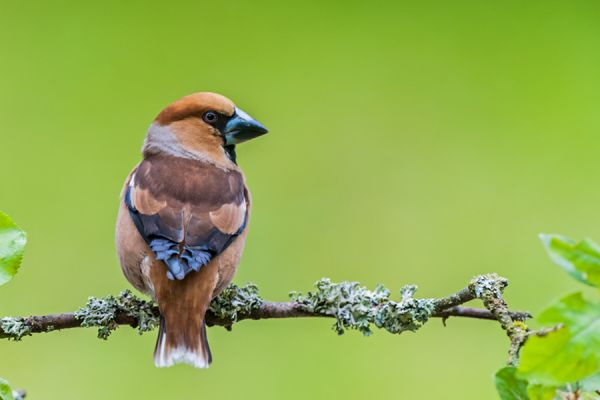 appelvink-hawfinch-coccothraustes-coccothraustes3-20141218-124671076954C52797-AC6A-C840-6513-C755CBA24C43.jpg