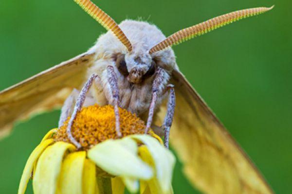 eikenpijlstaart-oak-hawk-moth-marumba-quercus-20141218-11593192779D6DE2A2-68FD-3F50-7331-BF90EEFCBAF0.jpg