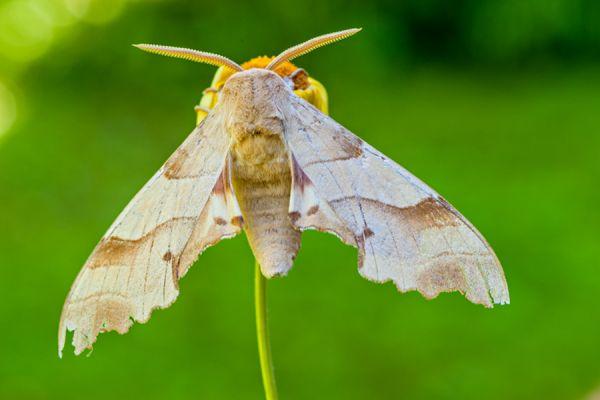 eikenpijlstaart-oak-hawk-moth-marumba-quercus1-20141218-1991101220316A241C-85E4-D215-CE8F-958994D997A9.jpg